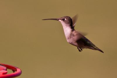 2008 Hummingbirds-6