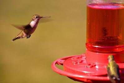 2008 Hummingbirds-15