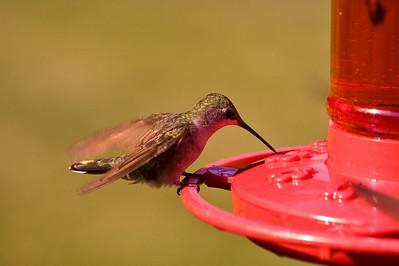 2008 Hummingbirds-17