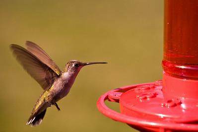 2008 Hummingbirds-21