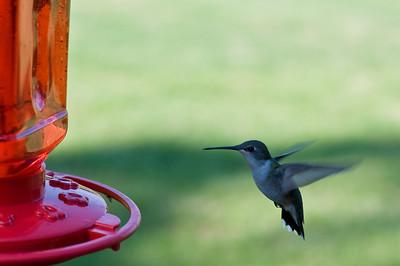 2008 Hummingbirds-28