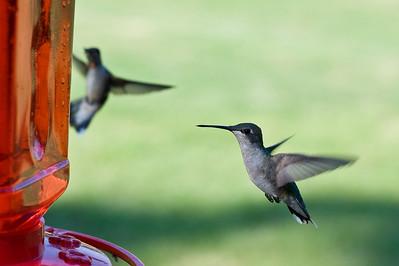 2008 Hummingbirds-25