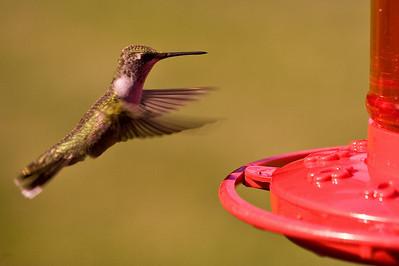 2008 Hummingbirds-22