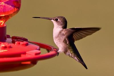 2008 Hummingbirds-7