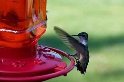 2008 Hummingbirds-26