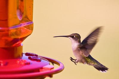 2008 Hummingbirds-23