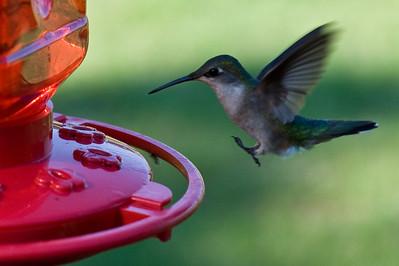 2008 Hummingbirds-29