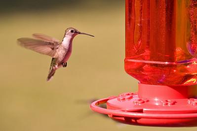 2008 Hummingbirds-9