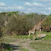 Giraffen Show Selous NatlPark (024)