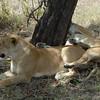 Lions Siesta Selous NatlPark (06)