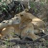 Lions Siesta Selous NatlPark (01)