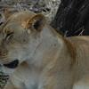 Lions Siesta Selous NatlPark (04)