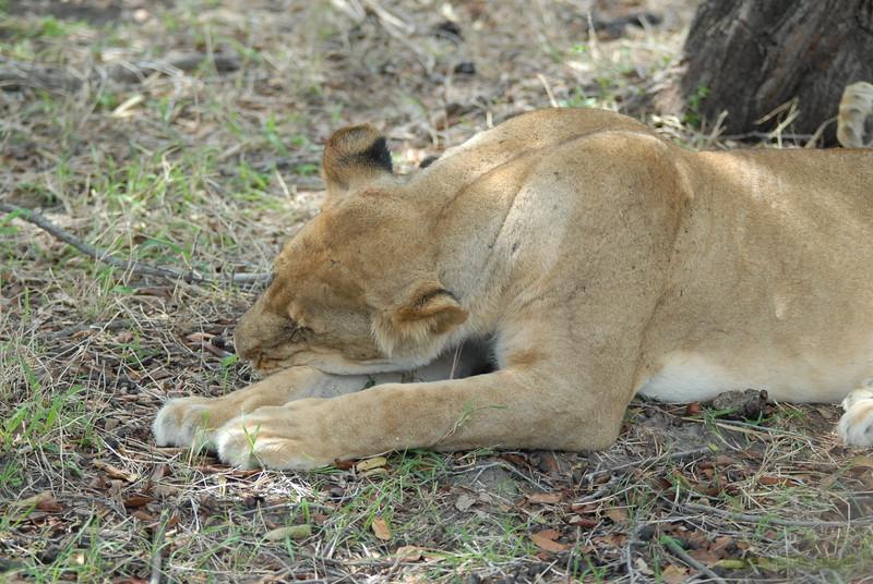 Lions Siesta Selous NatlPark (08)