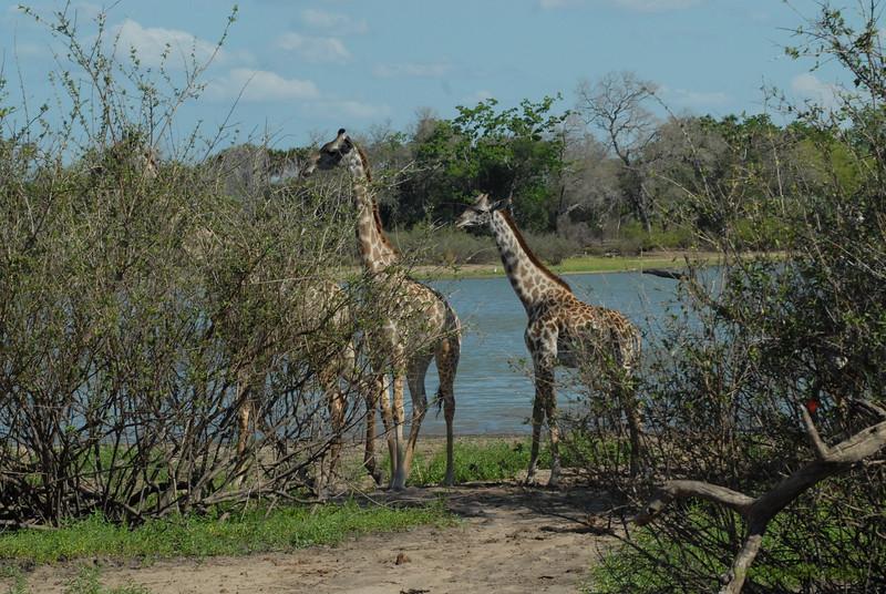 Giraffen Show Selous NatlPark (013)