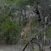 Giraffen Show Selous NatlPark (11)