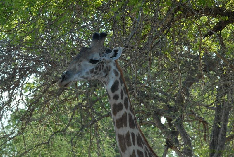 Giraffen Show Selous NatlPark (026)