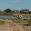 Giraffen Show Selous NatlPark (017)