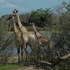 Giraffen Show Selous NatlPark (012)