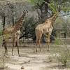 Giraffen Show Selous NatlPark (08)