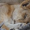 Lions Siesta Selous NatlPark (23)