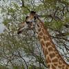 Giraffen Show Selous NatlPark (01)