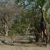Giraffen Show Selous NatlPark (025)
