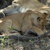 Lions Siesta Selous NatlPark (07)