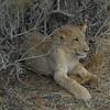 Lions Siesta Selous NatlPark (16)