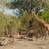 Giraffen Show Selous NatlPark (030)