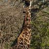 Giraffen Show Selous NatlPark (032)