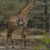 Giraffen Show Selous NatlPark (06)