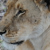 Lions Siesta Selous NatlPark (22)