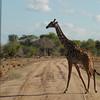 Giraffen Show Selous NatlPark (028)