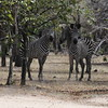 Zebras Parade Selous NatlPark (03)