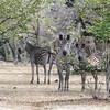Zebras Parade Selous NatlPark (01)