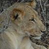 Lions Siesta Selous NatlPark (18)