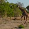 Giraffen Show Selous NatlPark (029)