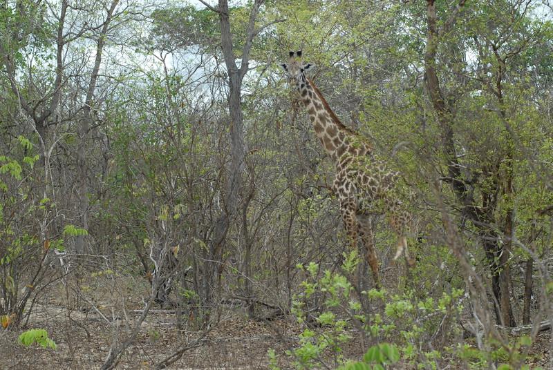 Giraffen Show Selous NatlPark (02)