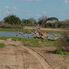 Giraffen Show Selous NatlPark (020)