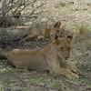 Lions Siesta Selous NatlPark (10)