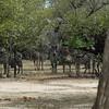 Giraffen Show Selous NatlPark (10)