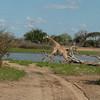 Giraffen Show Selous NatlPark (019)