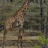 Giraffen Show Selous NatlPark (05)
