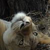 Lions Siesta Selous NatlPark (11)