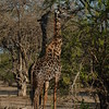 Giraffen Show Selous NatlPark (033)
