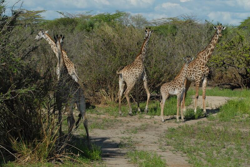 Giraffen Show Selous NatlPark (022)