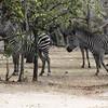 Zebras Parade Selous NatlPark (02)