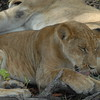 Lions Siesta Selous NatlPark (03)