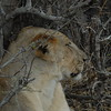 Lions Siesta Selous NatlPark (19)