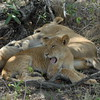 Lions Siesta Selous NatlPark (02)